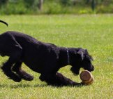 Giant Schnauzer Playing In The Yard