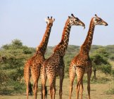 Group Of Giraffe