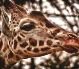 Closeup Of A Giraffe's Face. Notice His Lovely, Large Eyes.