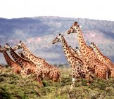 "A Herd Of Giraffes (Also Known As A ""tower"" Of Giraffes)"