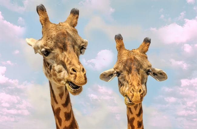 A pair of giraffes checking out the camera