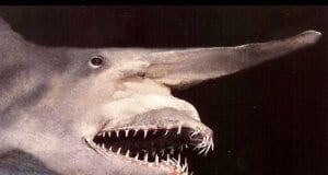 Closeup of a goblin sharkPhoto by: Justin//creativecommons.org/licenses/by/2.0/