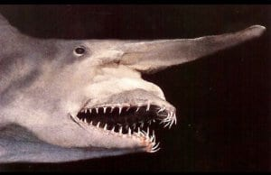 Closeup of a goblin sharkPhoto by: Justinhttps://creativecommons.org/licenses/by/2.0/