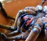 Fangs Of The Goliath Birdeater Photo By: (C) Worldunity Www.fotosearch.com