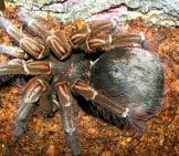 Goliath Birdeater Tarantula Photo By: (C) Worldunity Www.fotosearch.com