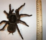 Size Of A Goliath Birdeater Tarantula Photo By: John Https://creativecommons.org/licenses/by/2.0/