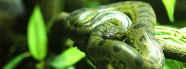 Green anaconda in the jungle. Photo by: (c) hin255 www.fotosearch.com