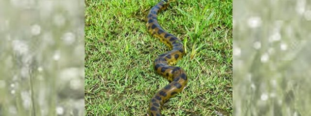 Green anaconda at the Las Pampas de Yacuma National Park Photo by: (c) Toniflap www.fotosearch.com
