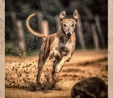 Greyhound Racing Toward The Camera