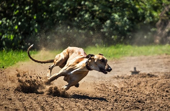 Extreme racing - notice this Greyhound's muscles!