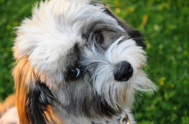 Young Havanese dog posing for the camera