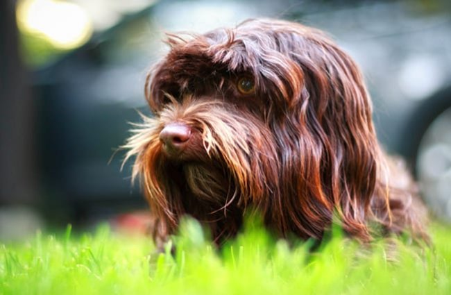 Brown Havanese peeking through the grass