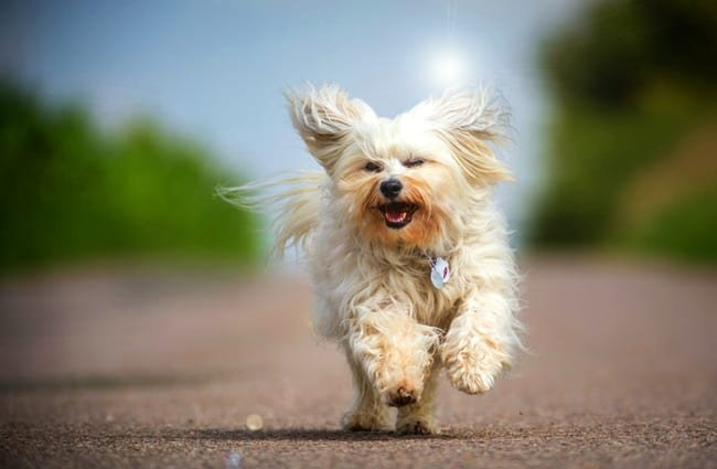 Havanese dogPhoto by: (c) buchsammy www.fotosearch.com