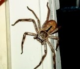 Large Huntsman Spider On A Door Jamb.photo By: F Delventhalhttps://creativecommons.org/licenses/by/2.0/