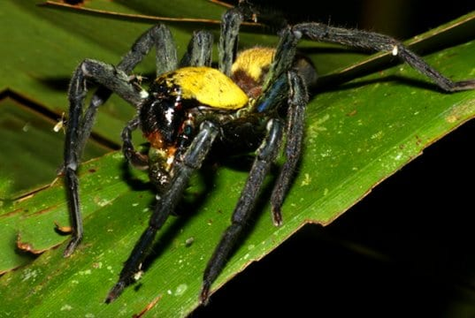 Black-and-gold Huntsman Spider, photographed in Malaysia.Photo by: Bernard DUPONThttps://creativecommons.org/licenses/by/2.0/