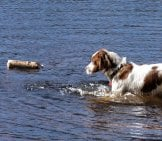 Irish Red And White Setter Retrieving In The Water Photo By: Andrea Pokrzywinski Https://creativecommons.org/licenses/by/2.0/