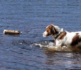 Irish Red And White Setter Retrieving In The Water Photo By: Andrea Pokrzywinski //creativecommons.org/licenses/by/2.0/