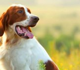 Irish Red And White Setter In The Early Morning Lightphoto By: (C) Glenkar Www.fotosearch.com