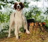 Portrait Of An Irish Red And White Setter Photo By: (C) Glenkar Www.fotosearch.com