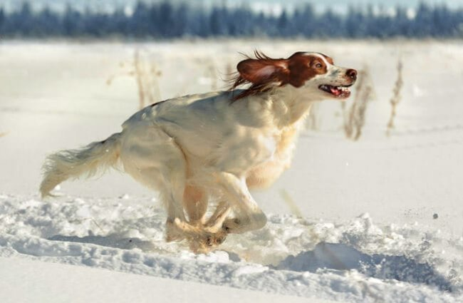 Irish Red and White Setter racing through the snow Photo by: (c) glenkar www.fotosearch.com
