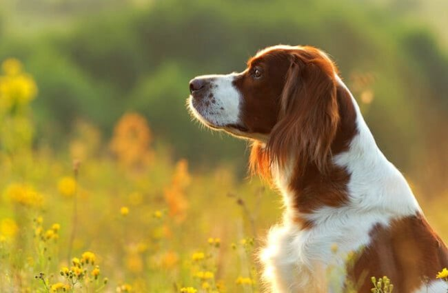 Irish Red and White Setter portrait, in the early morning meadow Photo by: (c) glenkar www.fotosearch.com