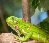 Beautiful Iguana In An Aquarium Environment