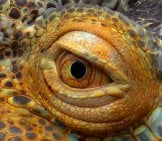 Extreme Closeup Of An Iguana's Eye