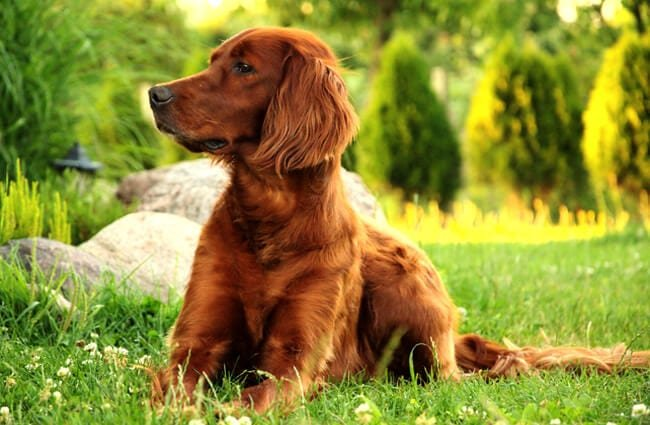 Beautiful Irish Setter posing in a field