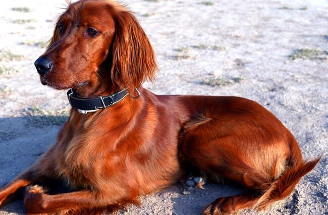 Young Irish Setter lounging at the beach