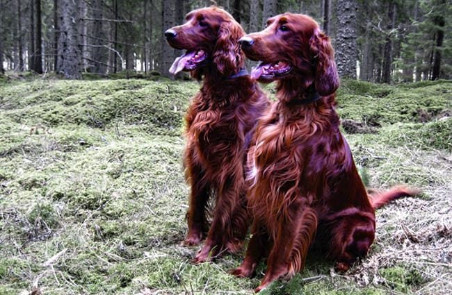 A pair of mature Irish Setters at the edge of the woods