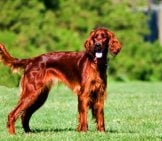 Irish Setter In The Park