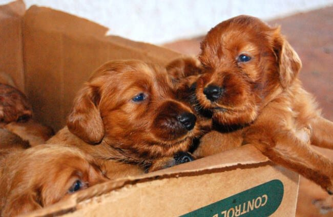 A box of Irish Setter puppies Photo by: Tabi //creativecommons.org/licenses/by/2.0/