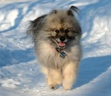 Keeshond In The Snow