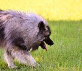 Keeshond Playing In The Yard