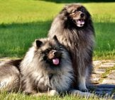 A Beautiful Pair Of Keeshond Posing In The Park