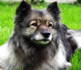 Portrait Of A Keeshond