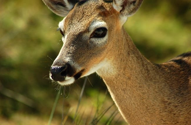 Closeup of a Key Deer doe Photo by: Ketzirah Lesser & Art Drauglis https://creativecommons.org/licenses/by-sa/2.0/