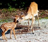 Mother Key Deer And Her Fawn Photo By: Cayobo Https://creativecommons.org/licenses/by-Sa/2.0/
