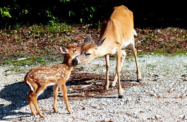 Mother Key Deer and her fawn Photo by: Cayobo //creativecommons.org/licenses/by-sa/2.0/