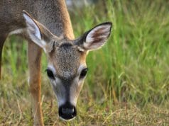 Young Key Deer buck in the Florida KeysPhoto by: (c) doncon402 www.fotosearch.com