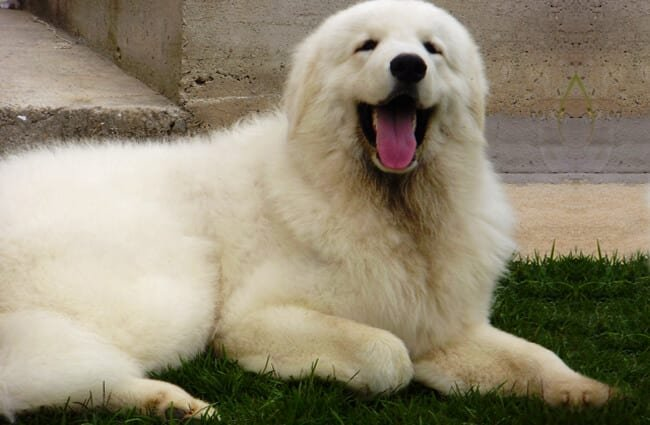 Beautiful Kuvasz enjoying the afternoon in the yard.Photo by: https://creativecommons.org/licenses/by-sa/2.0/