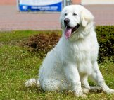 Young Kuvasz Posing In The Yard. Photo By: (C) Volofin Www.fotosearch.com