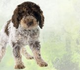 Lagotto Romagnolo Puppy Photo By: (C) Cynoclub Www.fotosearch.com