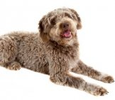 Pure Bred Lagotto Romagnolo Photo By: (C) Borojoint Www.fotosearch.com