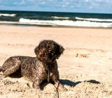 Lagotto Romagnolo Playing At The Beach Photo By: Heinrihsons Https://creativecommons.org/licenses/by-Sa/2.0/