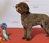 Champion Lagotto Romagnolo Photo By: Svenska Mässan Https://creativecommons.org/licenses/by-Sa/2.0/