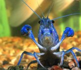 Bright Blue Lobster In An Aquarium Photo By: Kamillo Kluth Https://creativecommons.org/licenses/by/2.0/