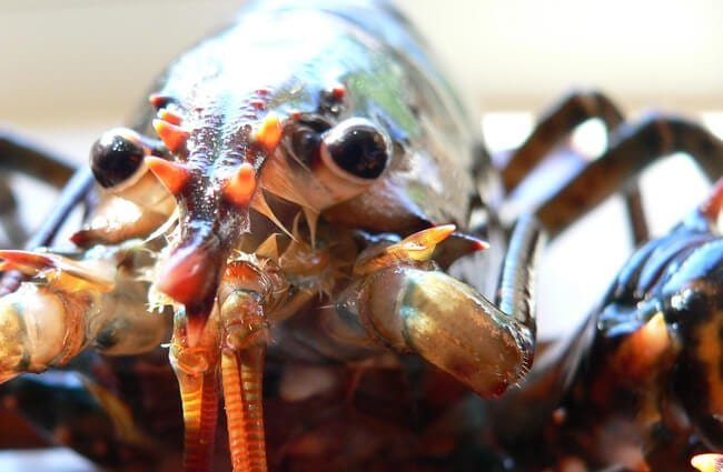 Closeup of a lobster