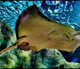 Manta Ray Photographed From The Under Side Photo By: Urko Dorronsoro Https://creativecommons.org/licenses/by-Sa/2.0/