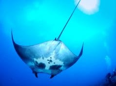 Each manta ray has unique markings on its underside